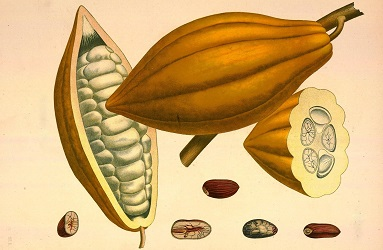 The obroma cacao